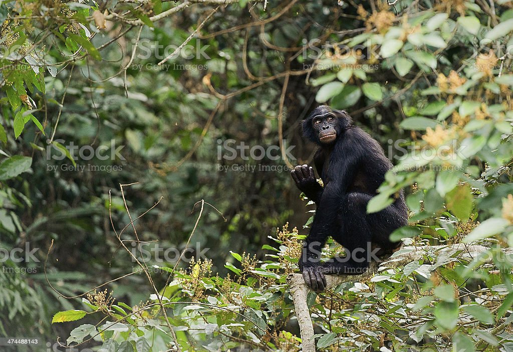 Bonobo on a tree branch. stock photo