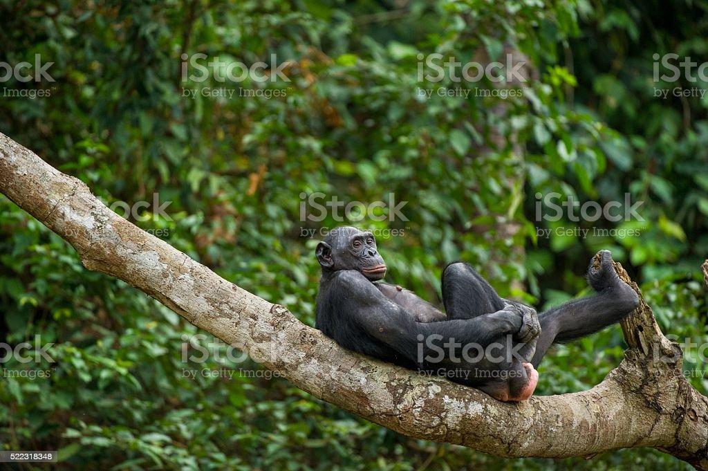 Chimpanzé pygmée (Pan Paniscus) sur une branche d'arbre. - Photo