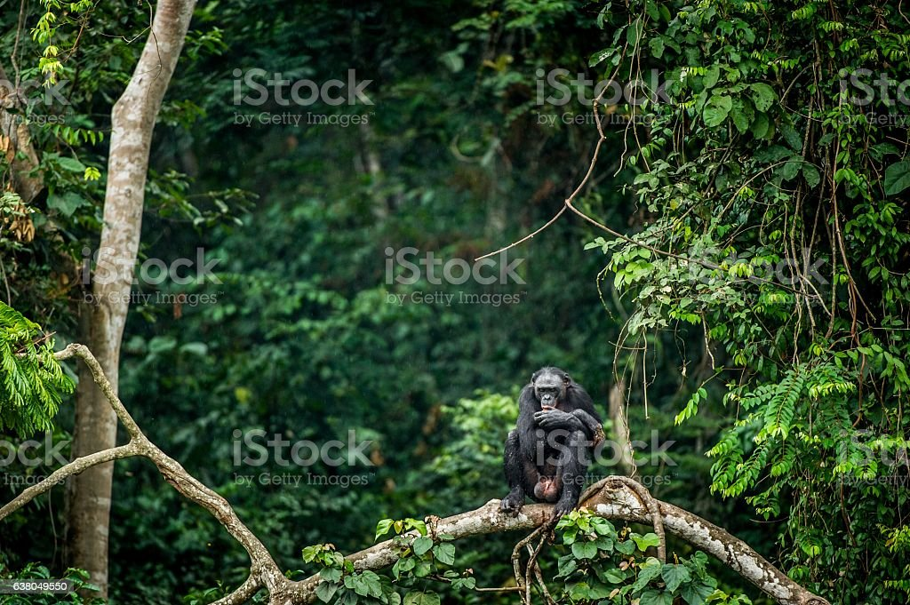 Bonobo on the branch of the tree - Photo