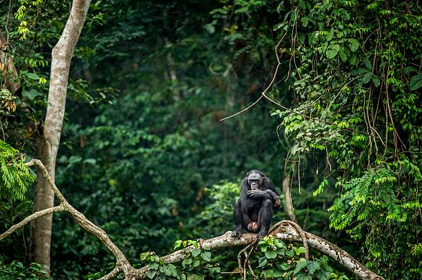 bonobo on the branch of the tree - demokratische republik kongo stock-fotos und bilder