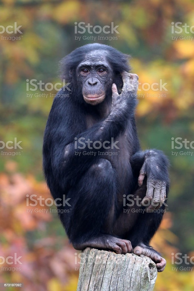 Chimpanzé pygmée - Photo