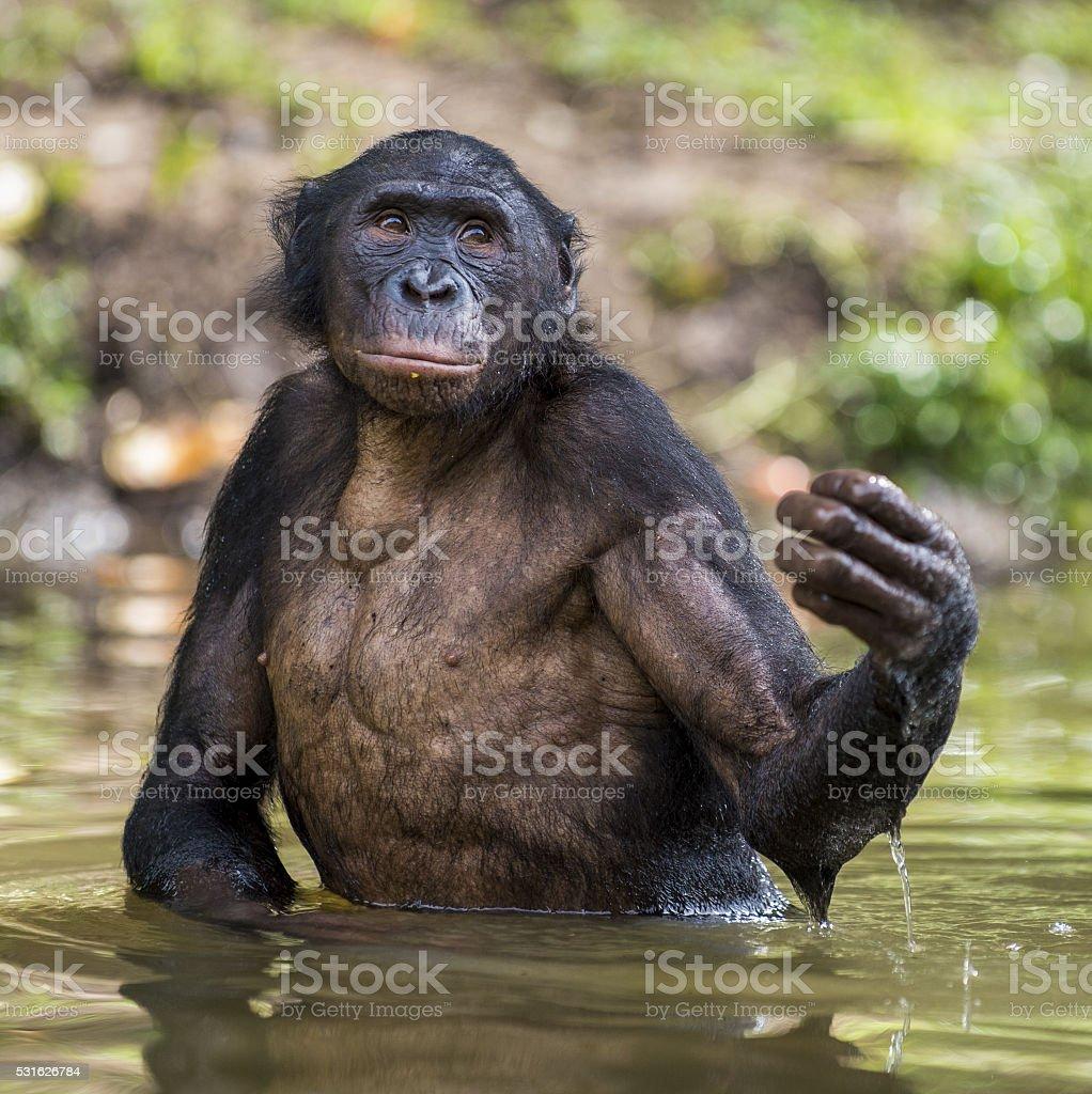 Bonobo ( Pan paniscus ) standing in water stock photo