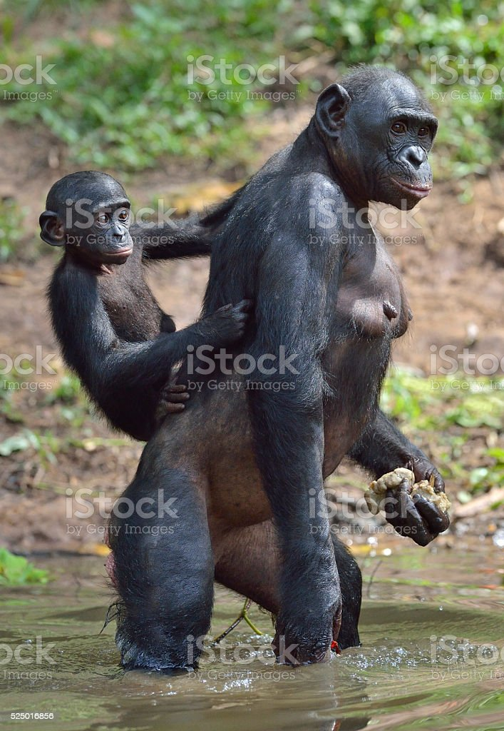 Bonobo standing in water with a cub on a back stock photo