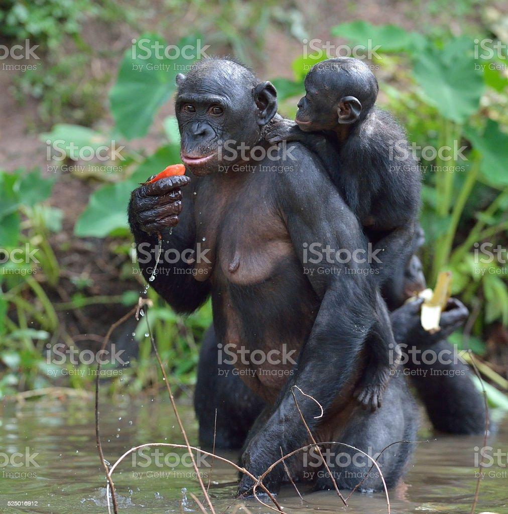 Chimpanzé pygmée debout sur les jambes dans l'eau avec un bébé - Photo