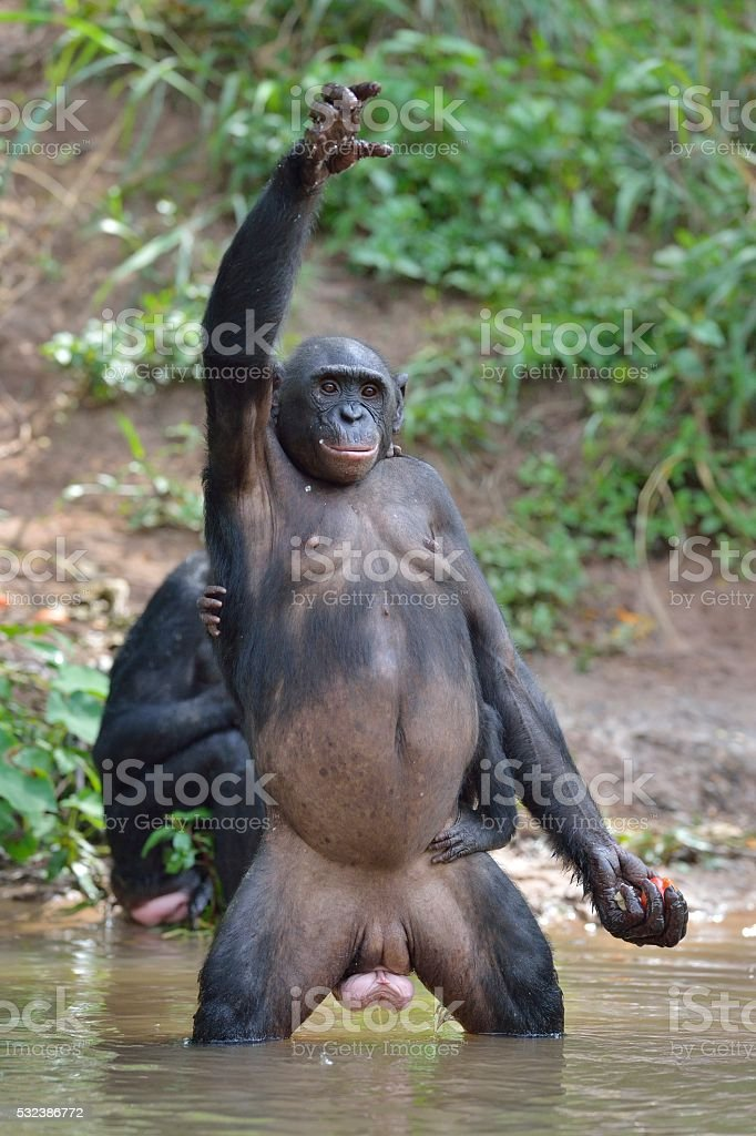 Bonobo standing on legs and hand up stock photo