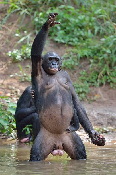 bonobo standing on legs and hand up - democratic republic of the congo stock photos and pictures