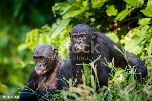 Bonobos in natural habitat. Green natural background. The Bonobo ( Pan paniscus), earlier being called the pygmy chimpanzee. Democratic Republic of Congo. Africa