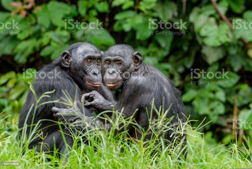 Bonobos in natural habitat - Photo