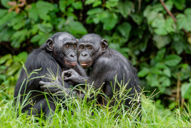 Bonobos in natural habitat stock photo
