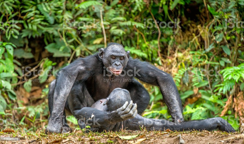Bonobos mating. - Photo