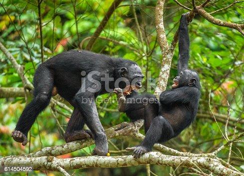 Bonobos (Pan Paniscus) on a tree branch. The Swearing and Aggressive Bonobo ( Pan paniscus)