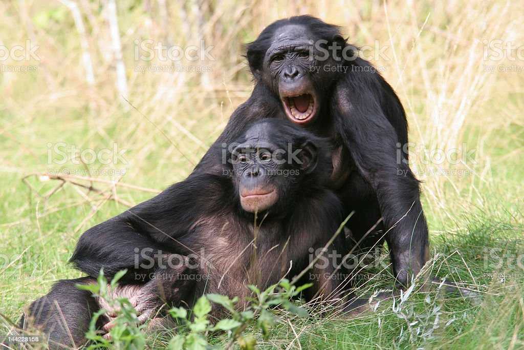 Bonobos - Photo