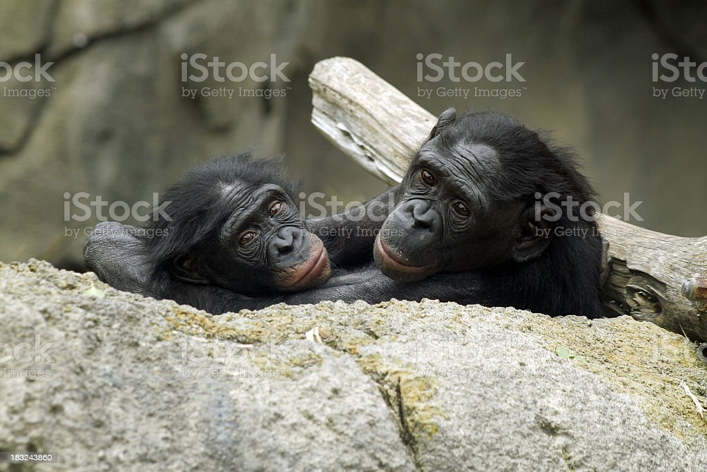 Bonobos (poisson Chimp - Photo