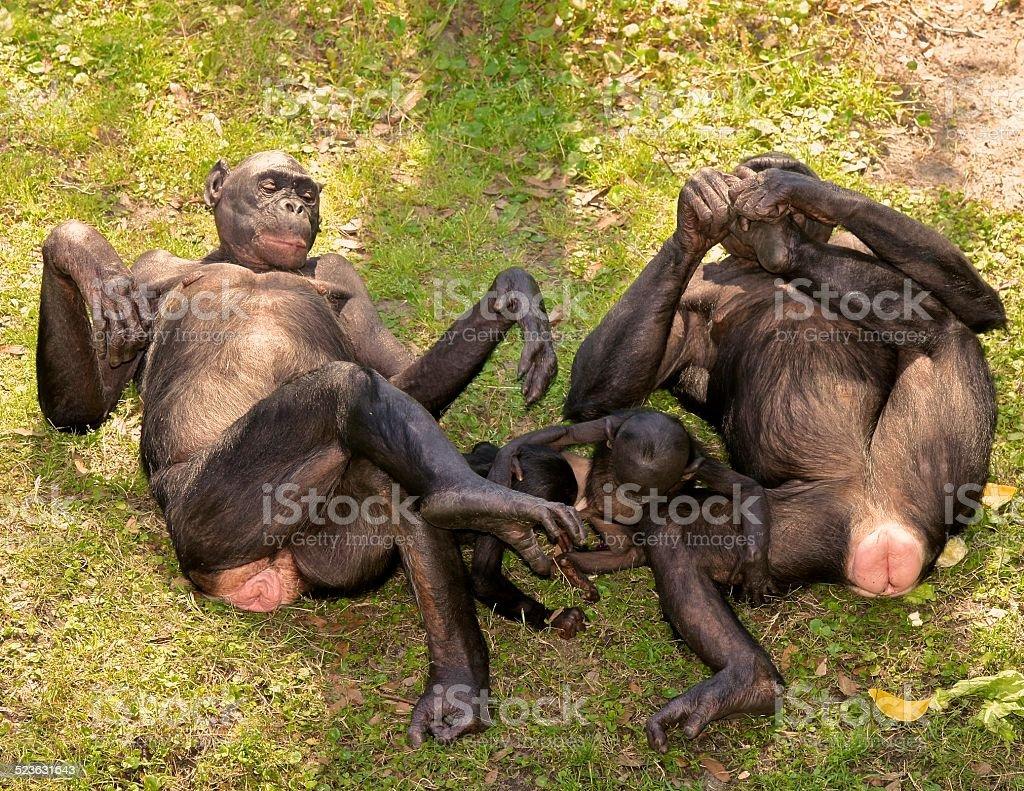 Bonobos Stock Photo  More Pictures Of Animal  Istock-5783