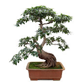 """bonsai tree isolated on white, miniature banyan tree"""