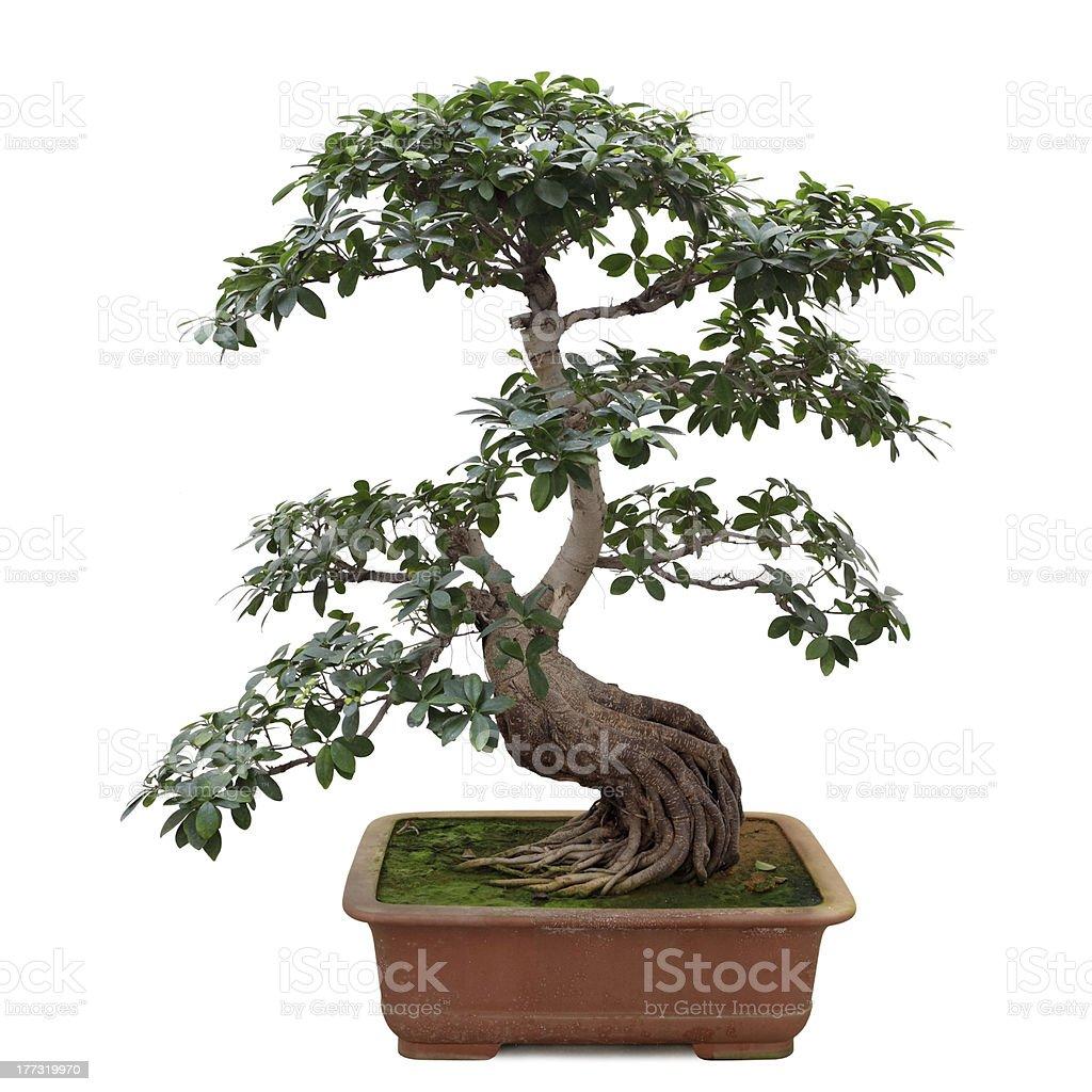 bonsai banyan tree stock photo