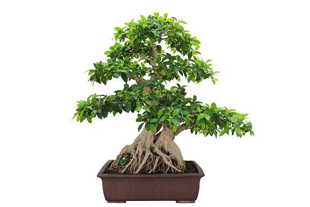 bonsai banyan tree – Foto
