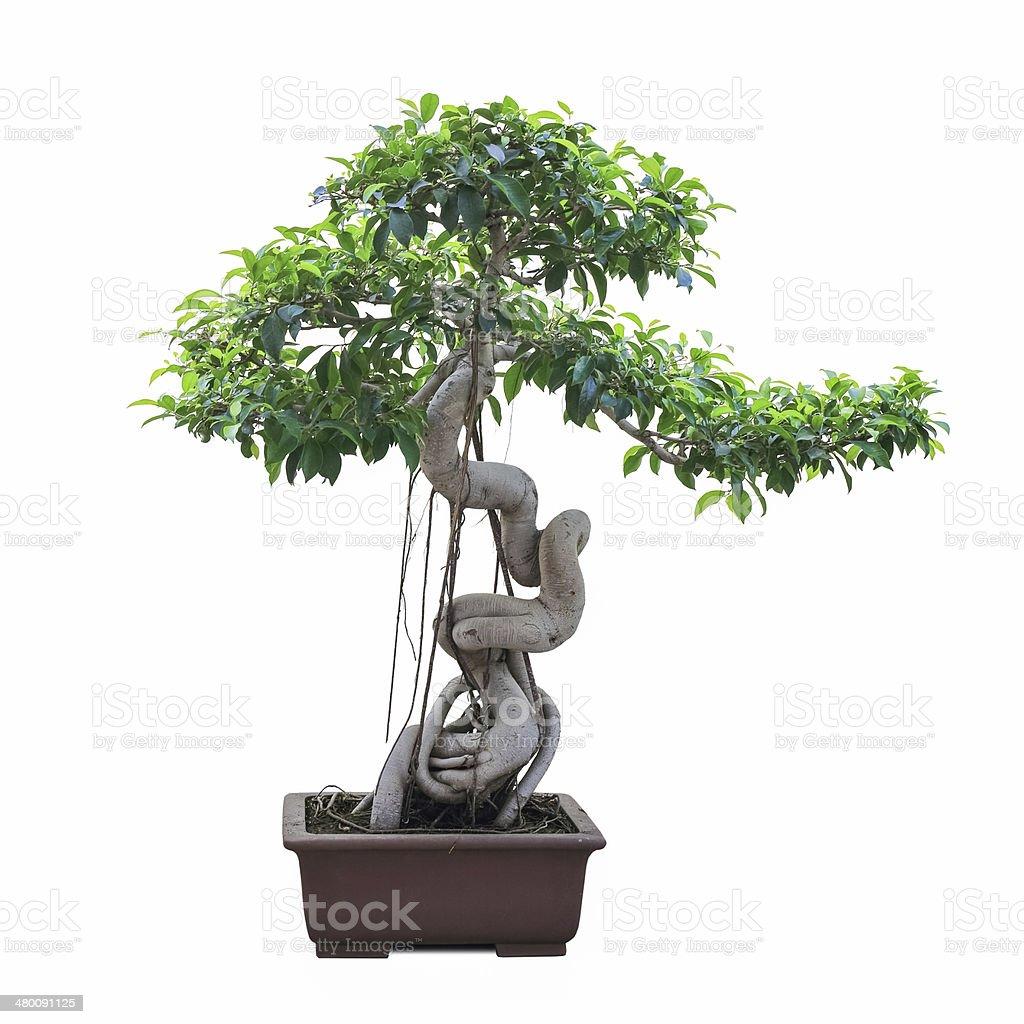 Bonsai Banyan Tree Stock Photo Download Image Now Istock