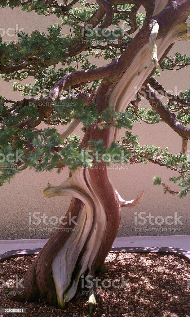 Bonsai Bark Evergreen stock photo