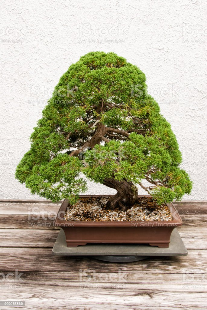 Bonsai Cedar Tree Growing In A Pot Stock Photo Download Image Now Istock