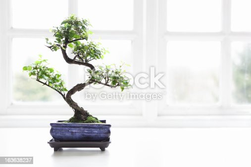 Bonsai Chinese Sweet Plum (Sageretia theezans) in front of a light window