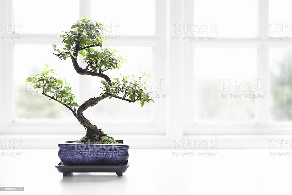 Bonsai chinoise de prune sucrée Sageretia theezans - Photo