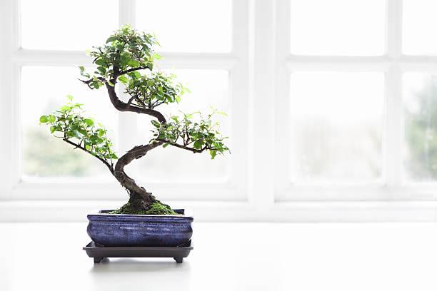 Bonsai chinoise de prune sucrée Sageretia theezans - Photo