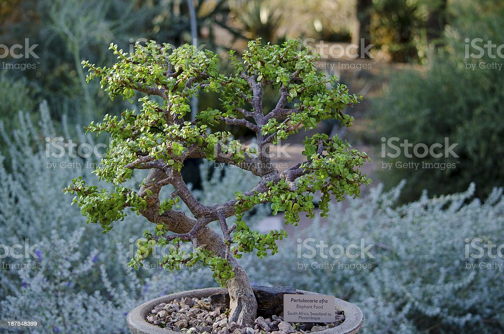 Bonsai Elephant Food Stock Photo Download Image Now Istock