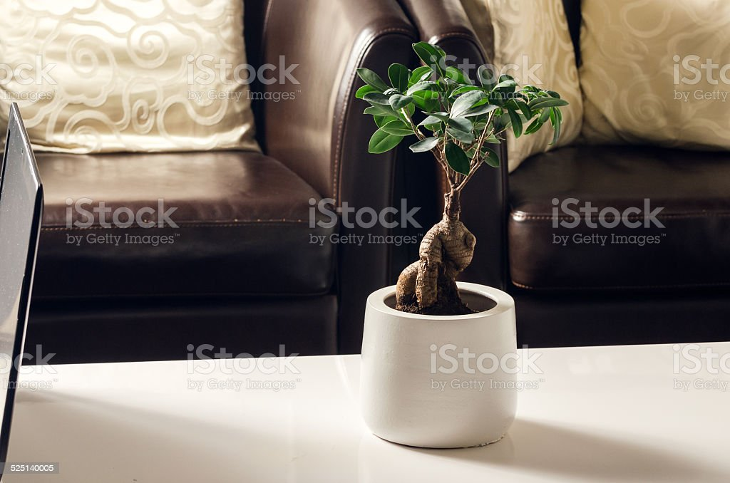 Bonsai, Ficus Ginseng in living room stock photo