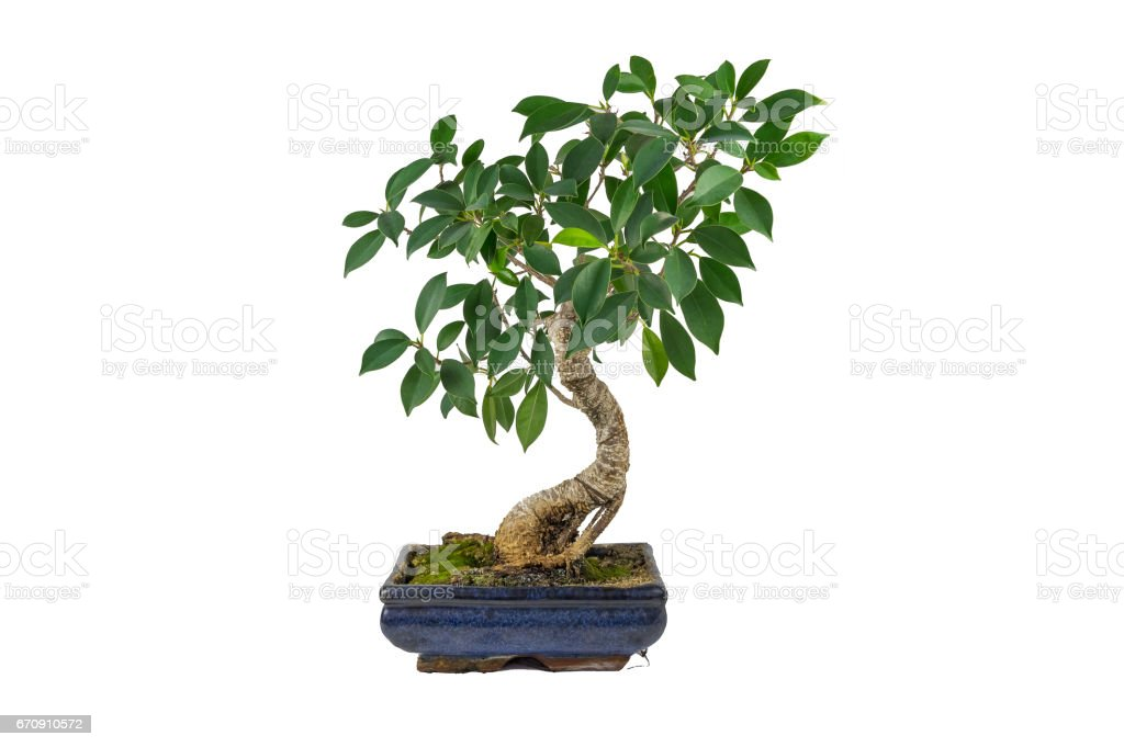Bonsai, Ficus retusa, In a marble pot, in isolation. Indoor plant. stock photo