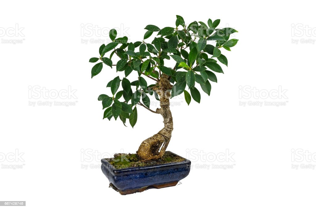 Bonsai, Ficus retusa, In a marble pot, Isolated, on white background. Drops of water on the leaves. Indoor plant. stock photo