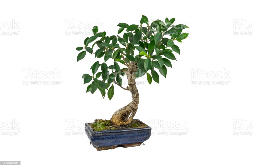 Bonsai, Ficus retusa, In a marble pot, on a white background. Indoor plant. stock photo