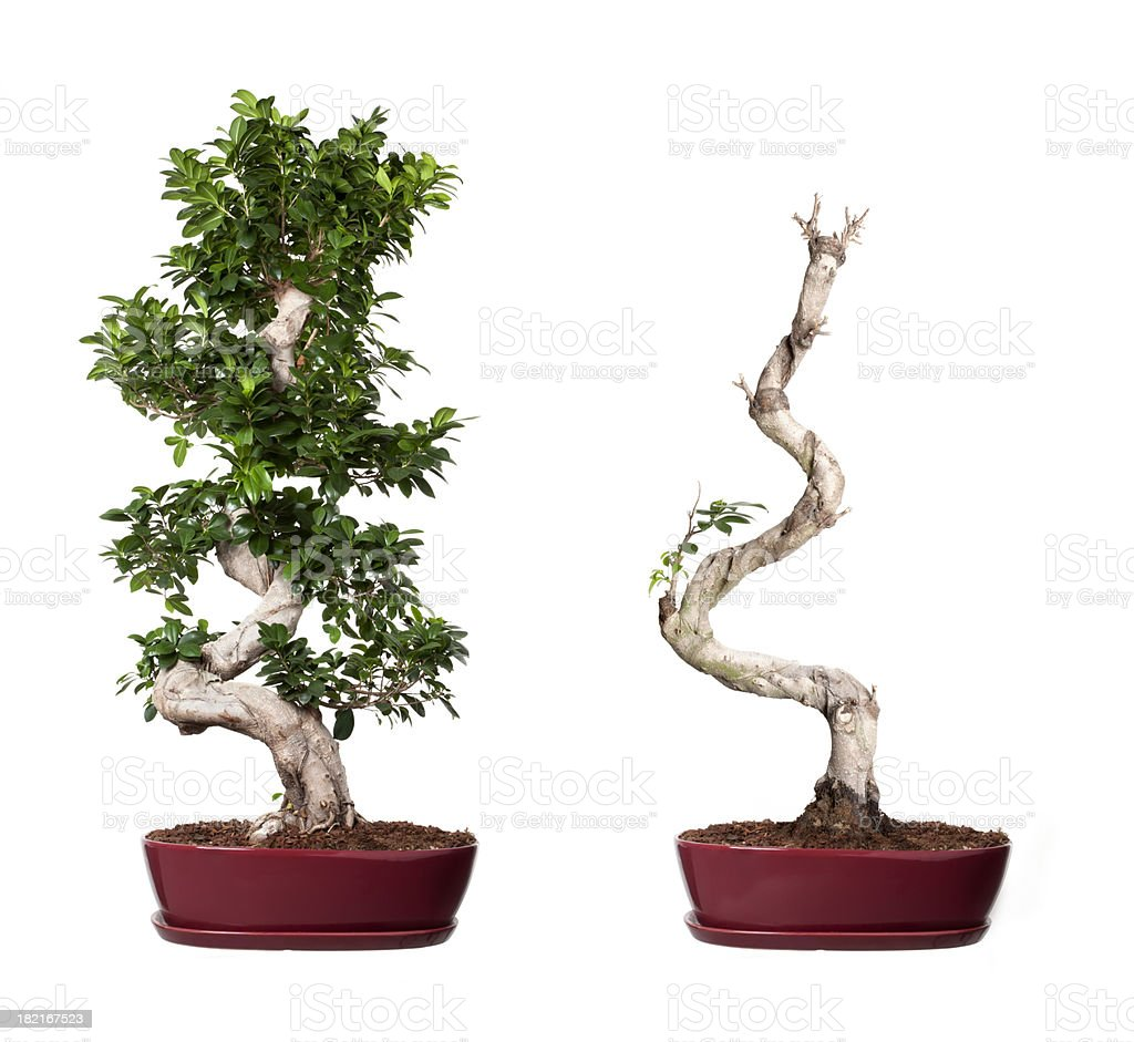 bonsai ginseng royalty-free stock photo