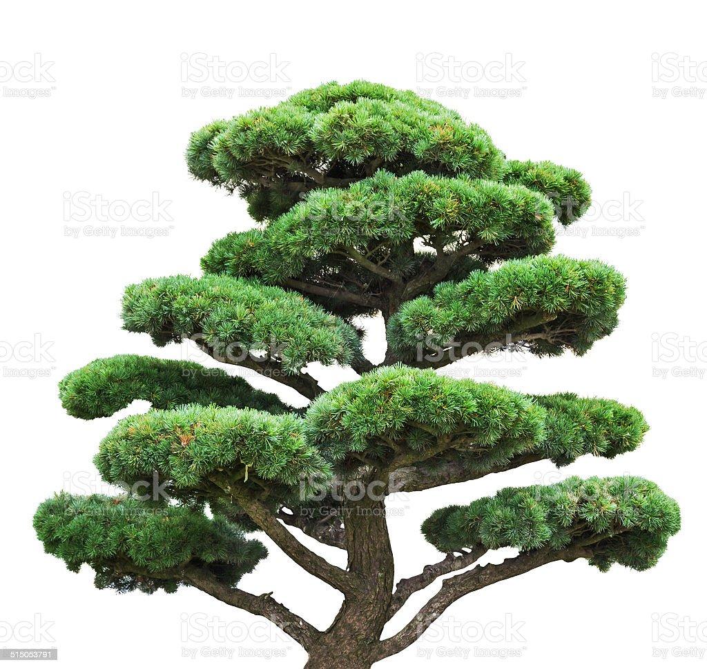 green pine bonsai-Bäumen, isoliert auf weiss – Foto