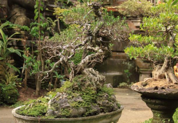 Bonsai in a traditional garden in Bali, Indonesia stock photo