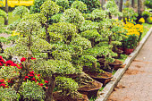 bonsai in honor of the Vietnamese new year. Lunar new year flower market. Chinese New Year. Tet.