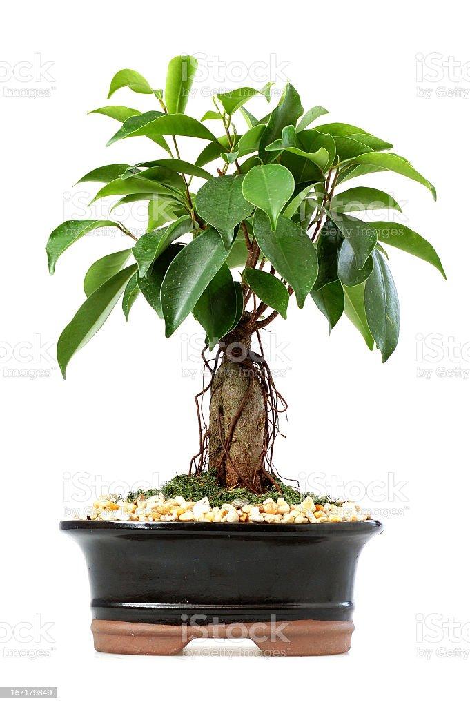 bonsai isolated royalty-free stock photo