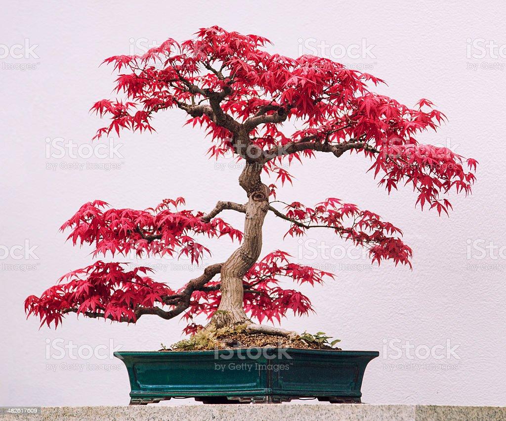 Perchè Acero Rosso Diventa Verde bonsai acero giapponese rosso - fotografie stock e altre