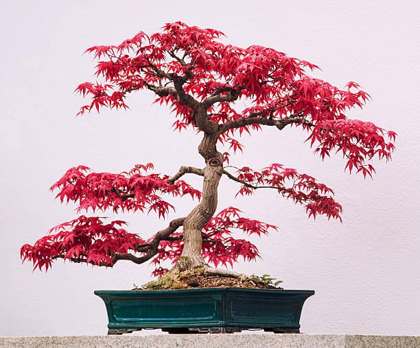 Érable rouge japonais bonsai, - Photo