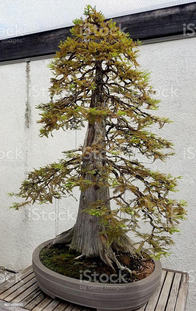 Bonsai miniature evergreen tree – Foto