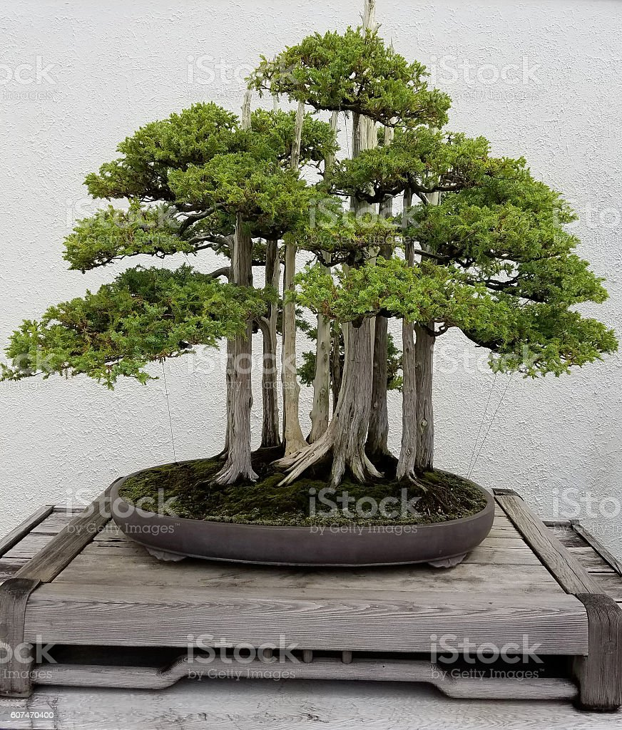 Bonsai miniature evergreen trees – Foto