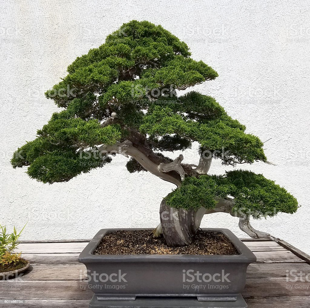 Bonsai miniature Pine tree - Photo