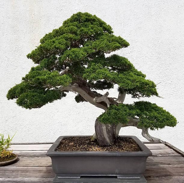 Bonsai miniature Pine tree - Photo