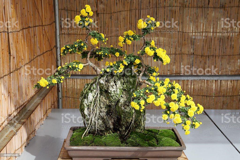Bonsai Of Chrysanthemum Flowers Stock Photo Download Image Now Istock