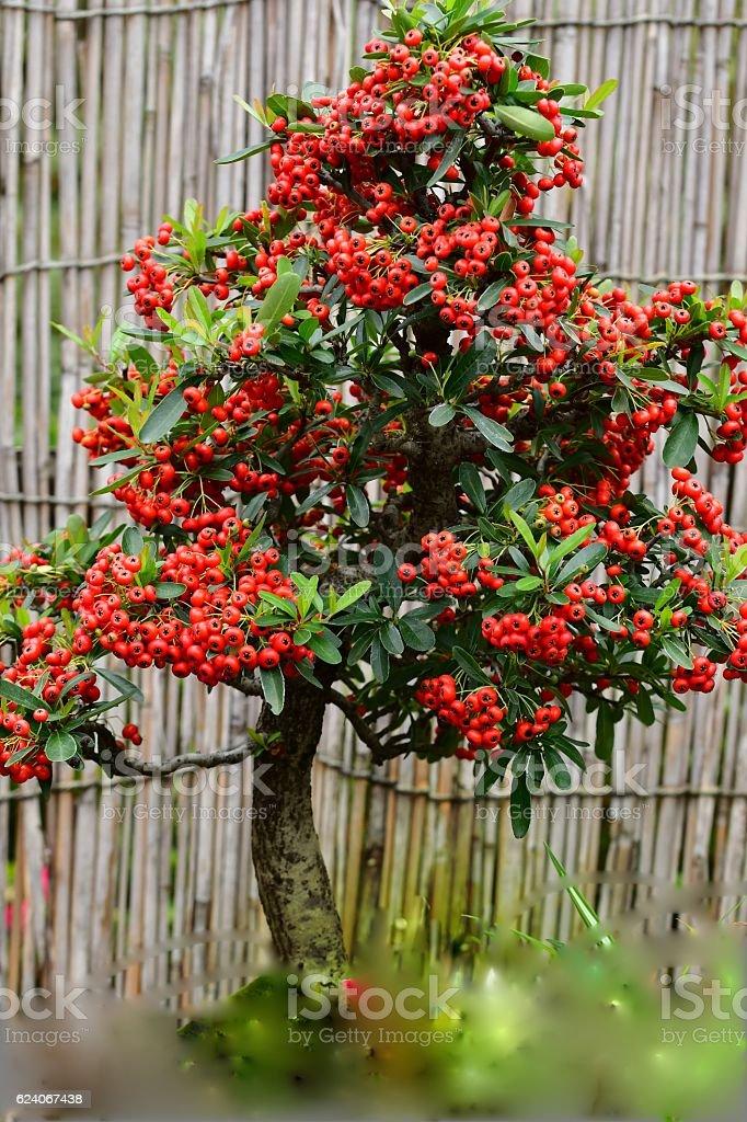 Bonsai of Pyracantha Tree - Photo