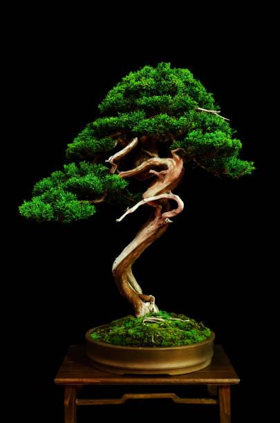 bonsaï sur une table - Photo