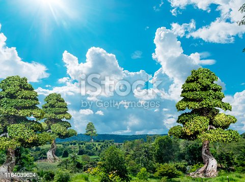 istock Bonsai on natural, sky, wood, over 200 years old 1164039624
