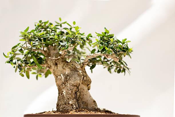 Bonsai on white background stock photo
