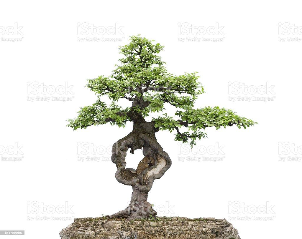 bonsai on white royalty-free stock photo