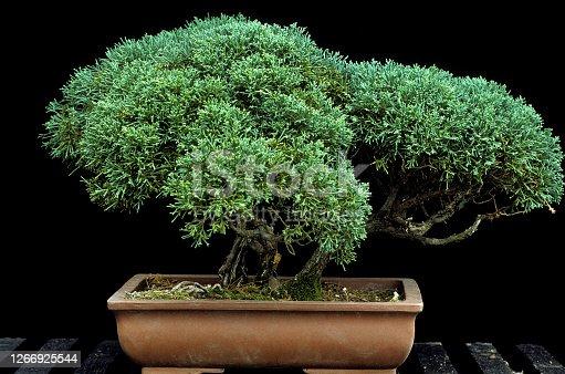 Juniper tree olf of hundred years